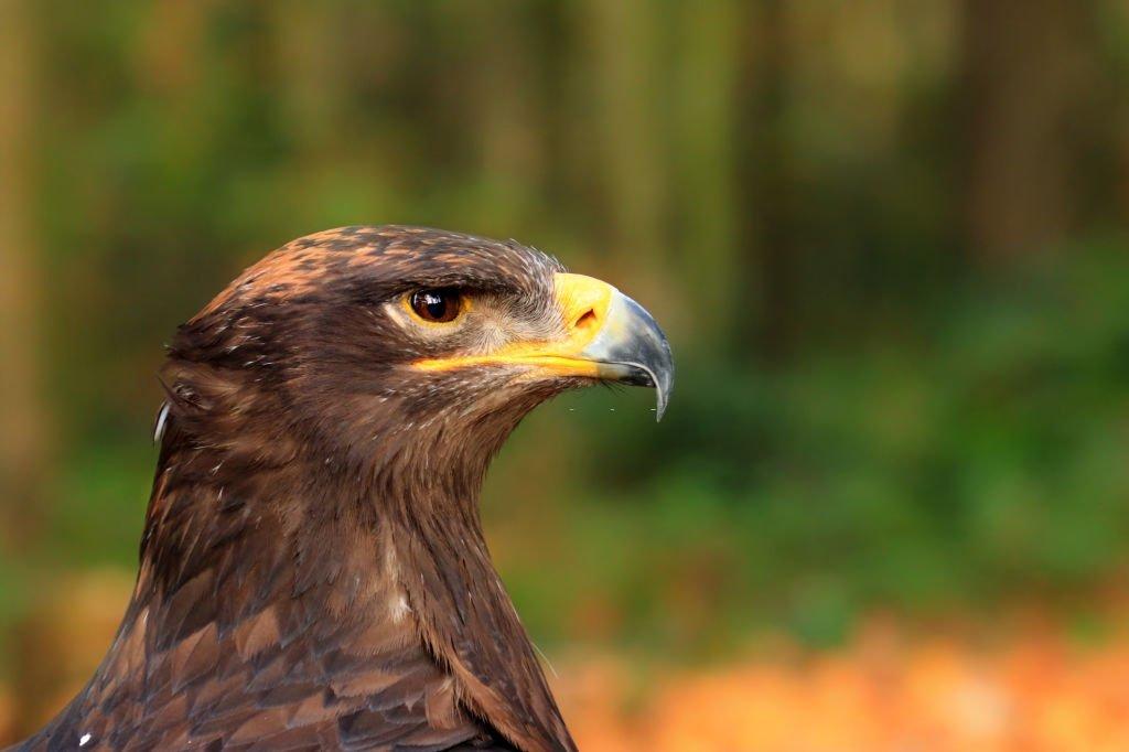 Bedeutung von Träumen von Adler? 1