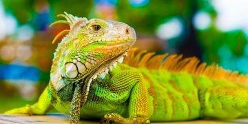 sonhar com iguana