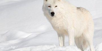 sonhar com lobo branco