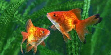 sonhar com peixinho-dourado
