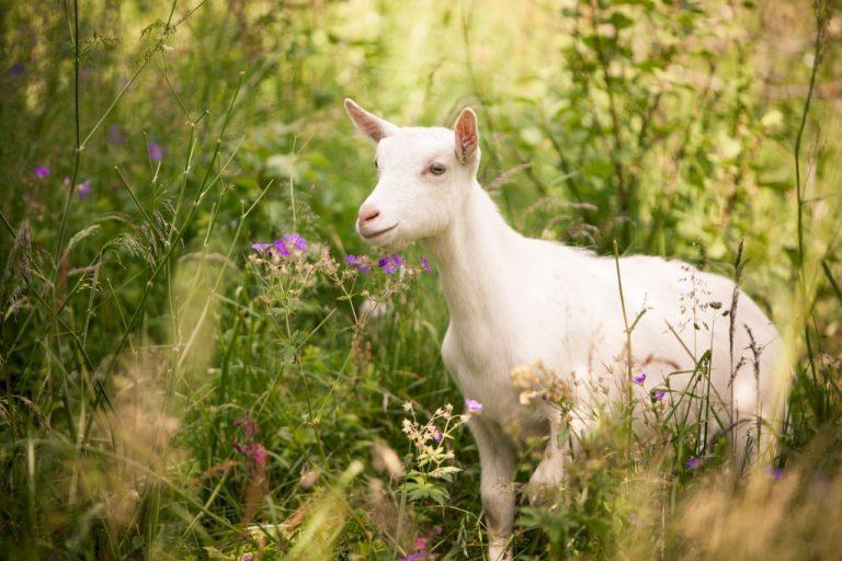 Sonhar com Cabra